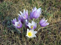 Crocus4 Fotos de Stock