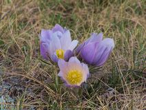 crocus5 Royaltyfria Foton