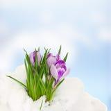 Crocuse i snow royaltyfri bild