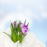 Crocuse in snow Royalty Free Stock Image