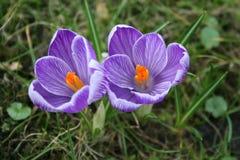 Crocuses. Purple crocuses on a lawn royalty free stock photography