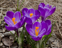 Crocuses. Opening in the spring time Stock Images