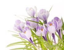 Crocuses. Spring stripy crocuses on white background Stock Photography