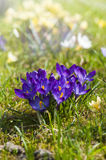 Crocuses. In the sunlight whit nature background royalty free stock photography