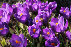 Crocuses. Bees above purple crocuses in the early spring Royalty Free Stock Images