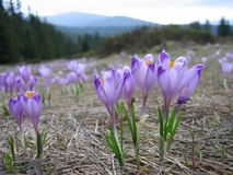 Crocuses. Blooming in mountains in spring Royalty Free Stock Photography