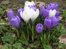 Crocuses. Photo of crocuses Royalty Free Stock Photo