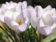 Crocuses in Afternoon Sunlight. Light purple crocuses in the afternoon sun Stock Photos