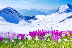 Crocuses And Mountains Royalty Free Stock Photos