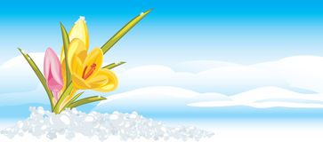 Crocuses on the background of cloudscape stock photos