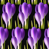 Crocuses background Royalty Free Stock Image