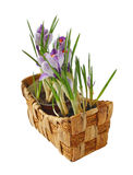 Crocuses in a basket Stock Images