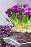Crocuses in a basket Stock Photos