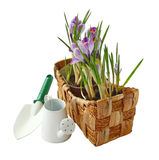 Crocuses in a basket with garden tools isolated on white backgr. Crocuses in a basket and watering can with a garden shovel on a white background royalty free stock image