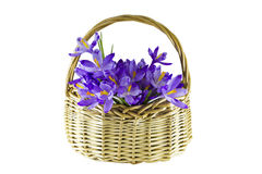 Crocuses in a basket Stock Image