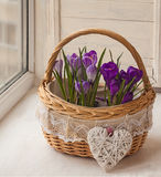 Crocuses in a basket on the window Royalty Free Stock Images