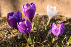 Crocuses. Beautiful crocuses in the garden Royalty Free Stock Photography