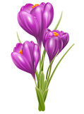 Crocuses Royalty Free Stock Photos