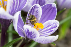 Crocuses with bee Royalty Free Stock Photography