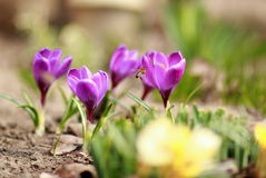 Crocuses and bees Stock Photography