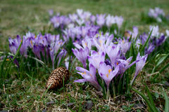 Crocuses blooming Royalty Free Stock Photography