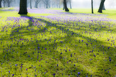 Crocuses blooming in park Stock Photos