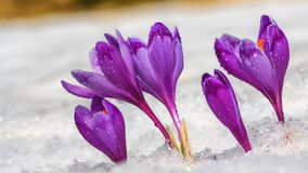 Crocuses - blooming purple flowers making their way from. Under the snow in early spring, closeup stock photo