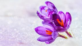 Crocuses - blooming purple flowers making their way from under the snow in early spring. Closeup with space for text royalty free stock image