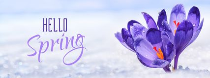 Crocuses - blooming purple flowers making their way from under the snow in the form of postcard with greeting text. Closeup, banner stock photography