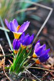 Crocuses blooming in spring Royalty Free Stock Photos