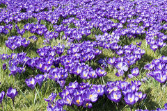 Crocuses. Royalty Free Stock Images