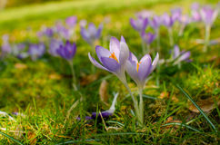 Crocuses in blossom on the meadow Royalty Free Stock Photography
