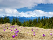 Crocuses Blossoming In Mountains Royalty Free Stock Image
