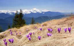 Crocuses blossoming in mountains Royalty Free Stock Photo