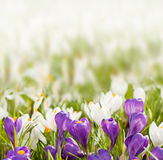 Crocuses on blurred background Royalty Free Stock Photo