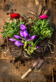 Crocuses and buttercups  gardening with scoop, soil and roots on rustic wooden background Royalty Free Stock Photo
