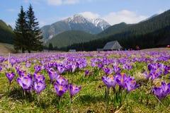 Crocuses in Chocholowska valley, Tatra Mountains, Poland Royalty Free Stock Photo