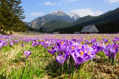 Crocuses in Chocholowska valley, Tatra Mountains, Poland Royalty Free Stock Photos