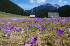 Crocuses in Chocholowska Valley, Tatra Mountains, Poland Royalty Free Stock Images