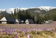 Crocuses in Chocholowska valley, Tatra Mountains, Poland. Spring Came to the Tatra Mountains As Crocuses Bloom in the Chocholowska Valley near Zakopane Stock Photography