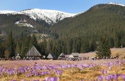Crocuses in Chocholowska valley, Tatra Mountains, Poland. Spring Came to the Tatra Mountains As Crocuses Bloom in the Chocholowska Valley near Zakopane Stock Image