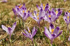 Crocuses in Chocholowska valley, Tatra Mountains, Poland. Spring Came to the Tatra Mountains As Crocuses Bloom in the Chocholowska Valley near Zakopane Royalty Free Stock Photography