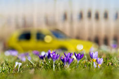 Crocuses in city Royalty Free Stock Image