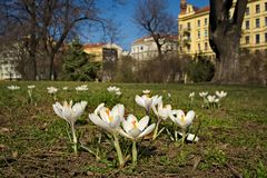 Crocuses in city park in Brno Stock Images