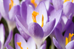 Crocuses close up Royalty Free Stock Photography