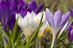 Crocuses close up Stock Photography