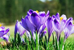 Crocuses Closeup Royalty Free Stock Images