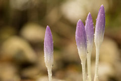 Crocuses covered in rain drops. Four violet crocuses covered in morning rain Stock Photo
