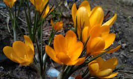 Crocuses Royalty Free Stock Images