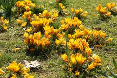 Crocuses. / A group of  in the grass stock image